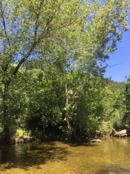 Sycamore trees line Bull Creek and provide much needed shade from Texas heat.